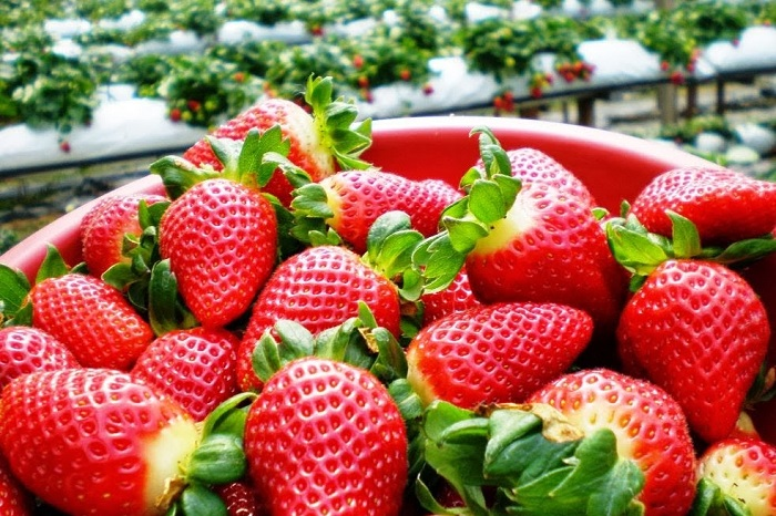 Strawberry cultivation in the orchard